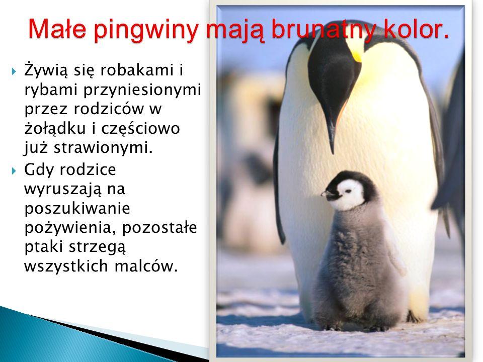 Małe pingwiny mają brunatny kolor.
