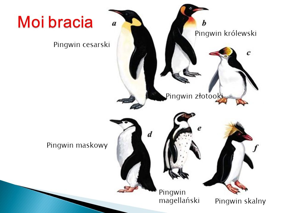 Moi bracia Pingwin królewski Pingwin cesarski Pingwin złotooki