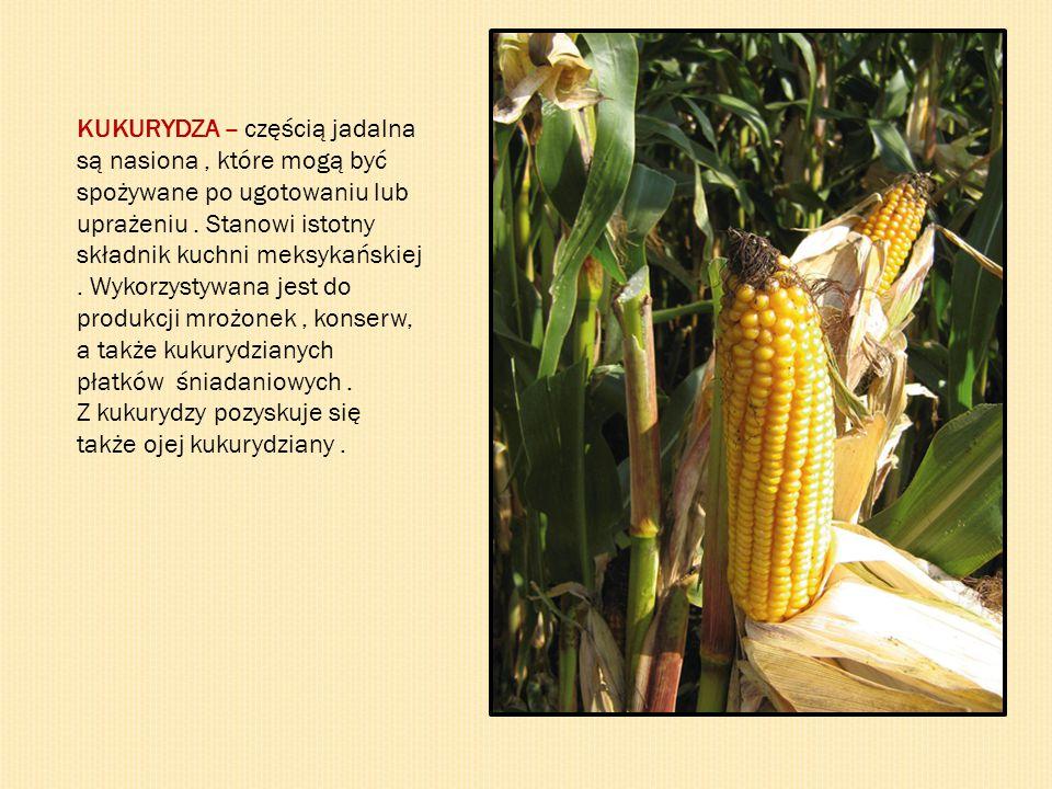 KUKURYDZA – częścią jadalna są nasiona , które mogą być spożywane po ugotowaniu lub uprażeniu . Stanowi istotny składnik kuchni meksykańskiej . Wykorzystywana jest do produkcji mrożonek , konserw, a także kukurydzianych płatków śniadaniowych .
