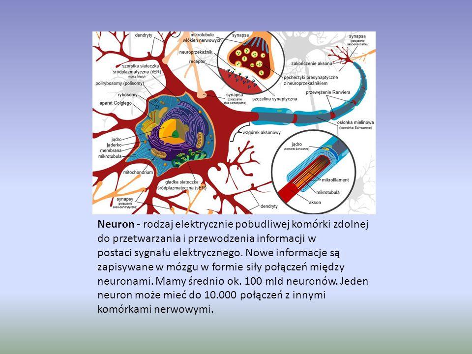 Neuron - rodzaj elektrycznie pobudliwej komórki zdolnej do przetwarzania i przewodzenia informacji w postaci sygnału elektrycznego.