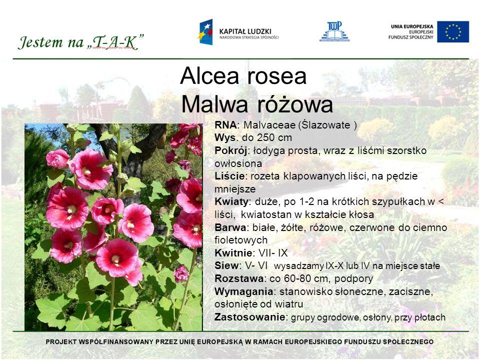 Alcea rosea Malwa różowa