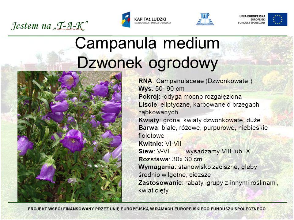 Campanula medium Dzwonek ogrodowy