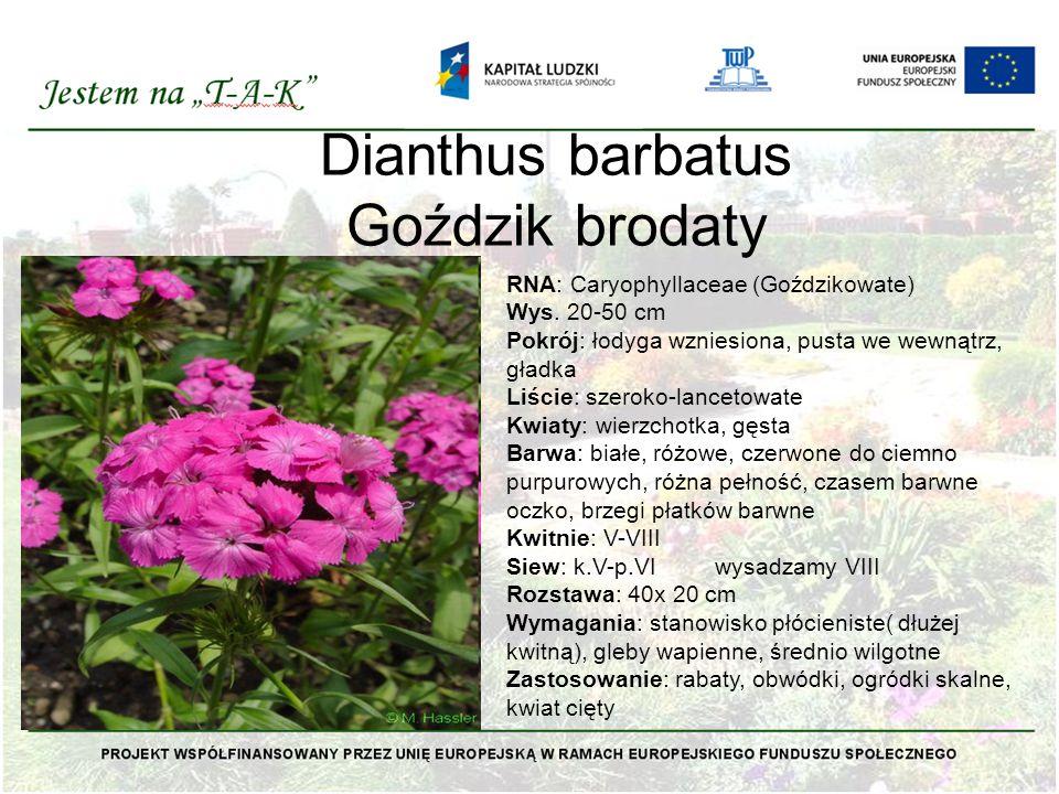 Dianthus barbatus Goździk brodaty