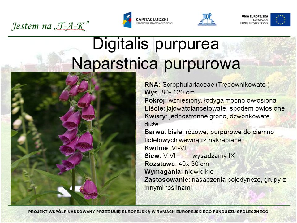 Digitalis purpurea Naparstnica purpurowa