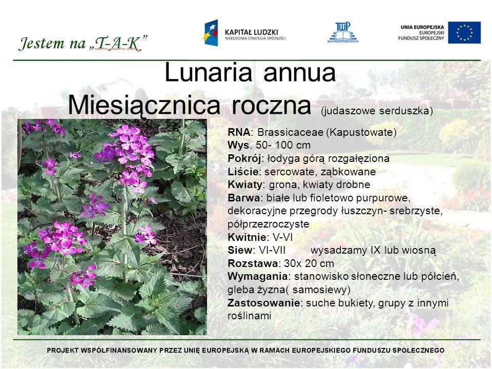 Lunaria annua Miesiącznica roczna (judaszowe serduszka)