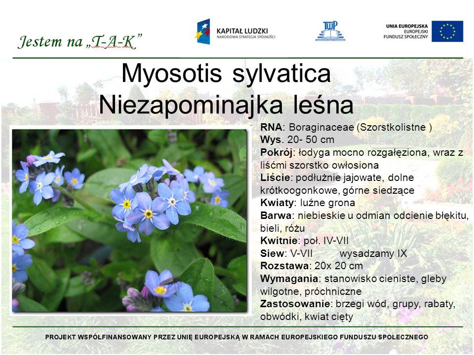 Myosotis sylvatica Niezapominajka leśna