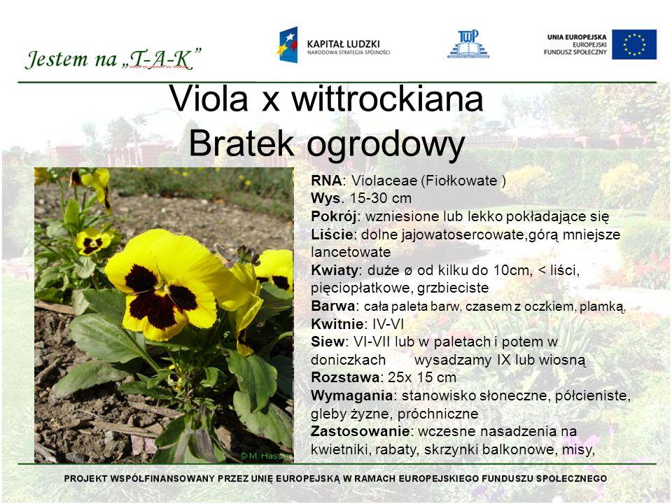 Viola x wittrockiana Bratek ogrodowy