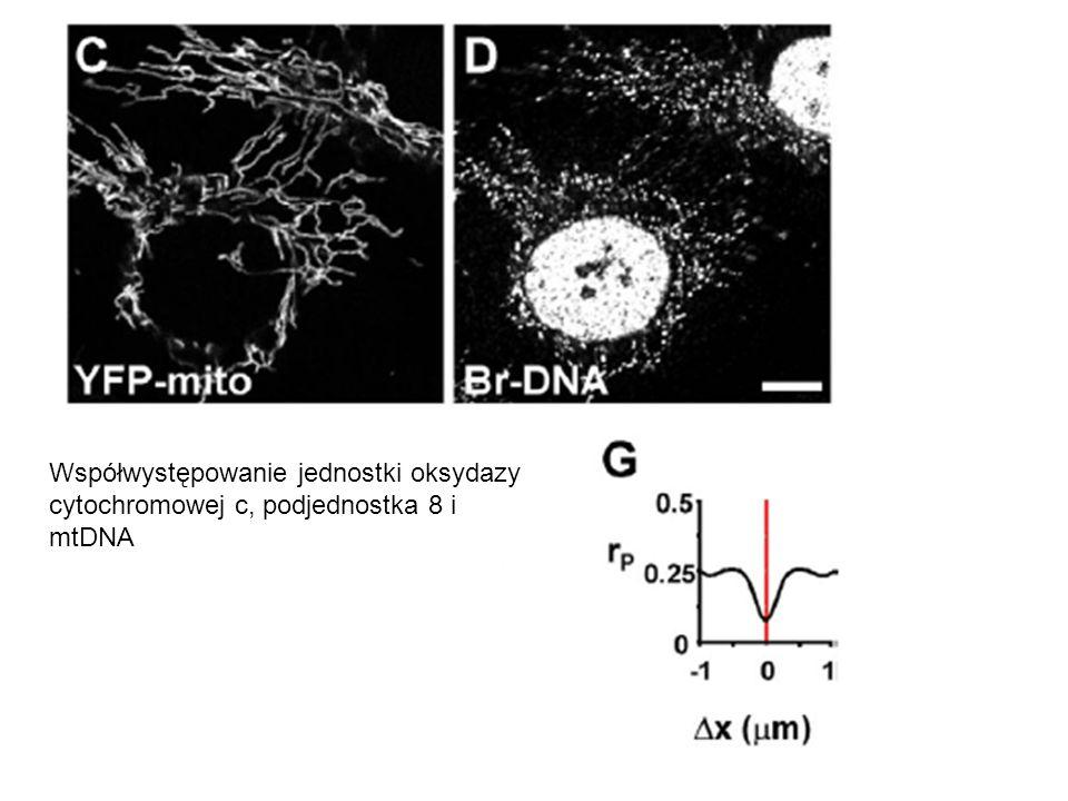 Współwystępowanie jednostki oksydazy cytochromowej c, podjednostka 8 i mtDNA