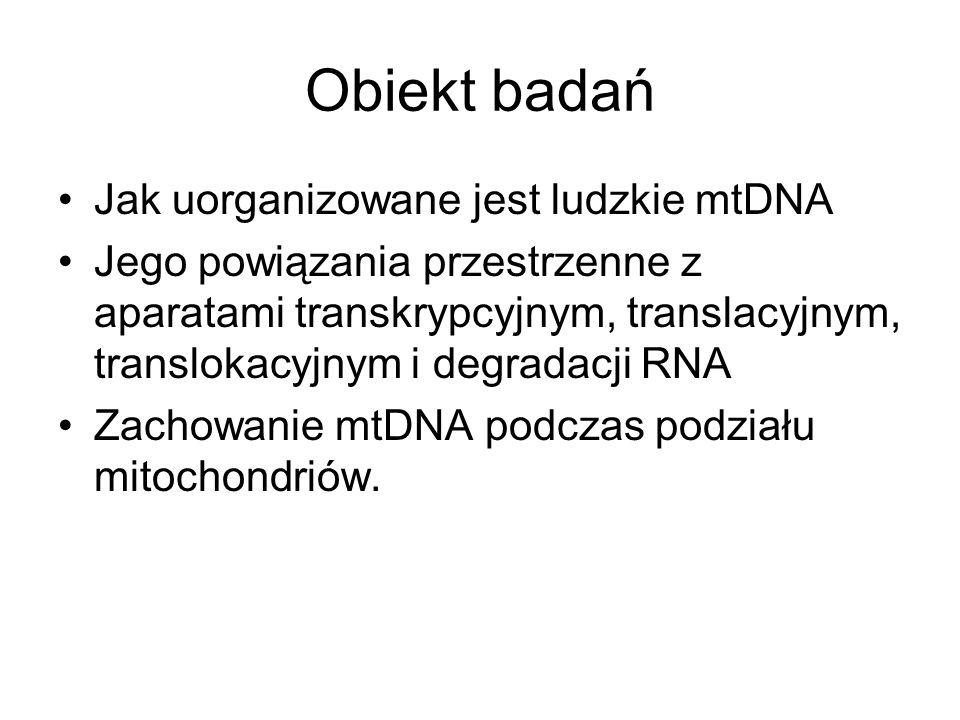 Obiekt badań Jak uorganizowane jest ludzkie mtDNA