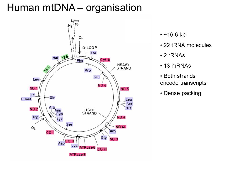 Human mtDNA – organisation