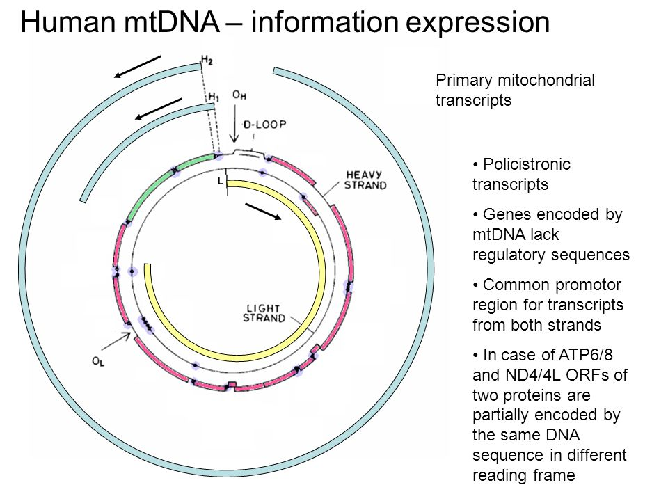 Human mtDNA – information expression