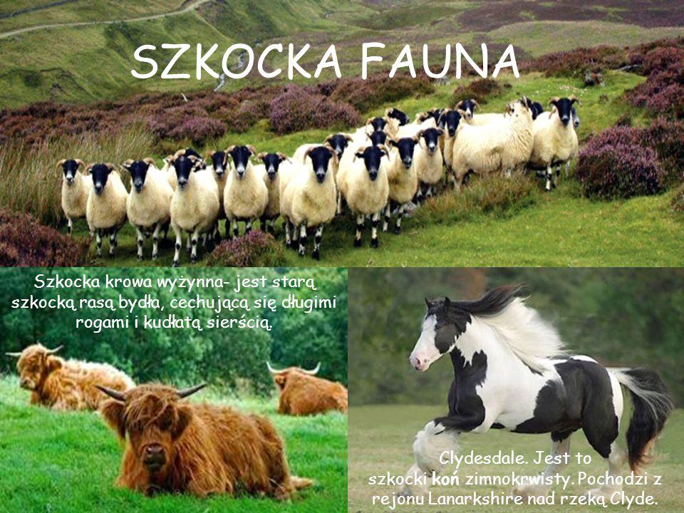 SZKOCKA FAUNA Szkocka krowa wyżynna- jest starą szkocką rasą bydła, cechującą się długimi rogami i kudłatą sierścią.