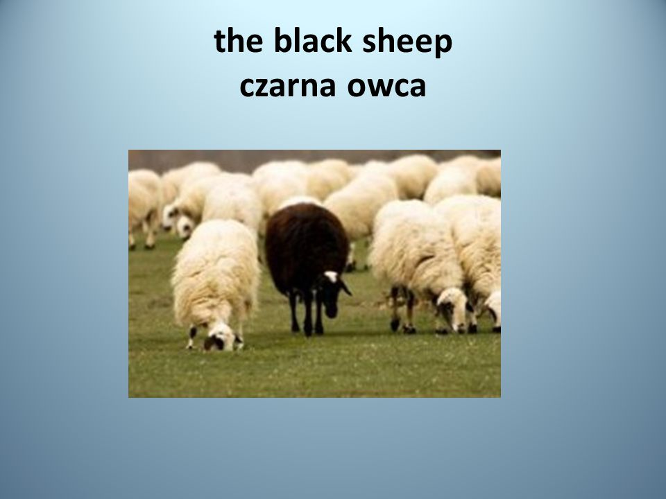 the black sheep czarna owca