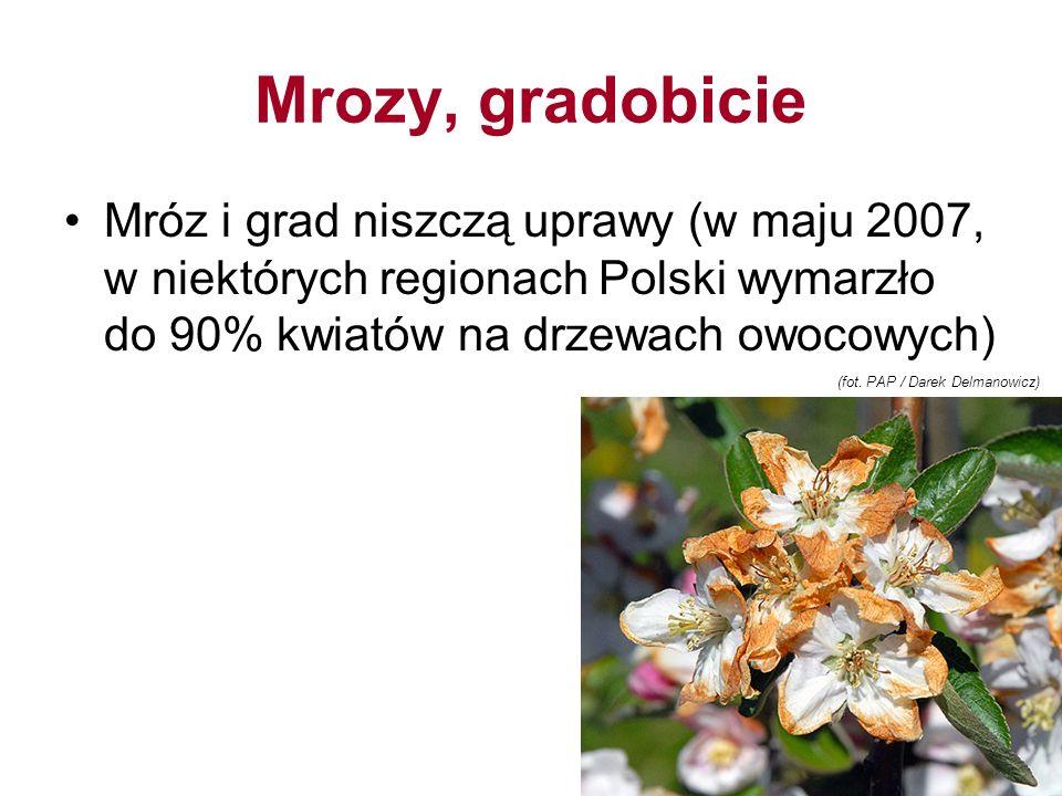 Mrozy, gradobicie Mróz i grad niszczą uprawy (w maju 2007, w niektórych regionach Polski wymarzło do 90% kwiatów na drzewach owocowych)