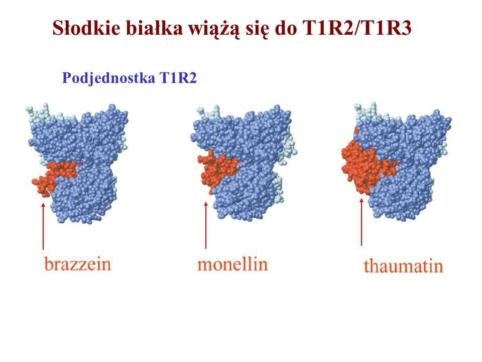 Słodkie białka wiążą się do T1R2/T1R3