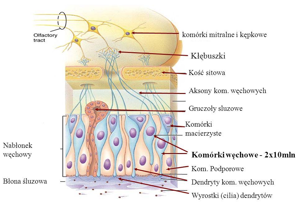 Kłębuszki Komórki węchowe - 2x10mln komórki mitralne i kępkowe