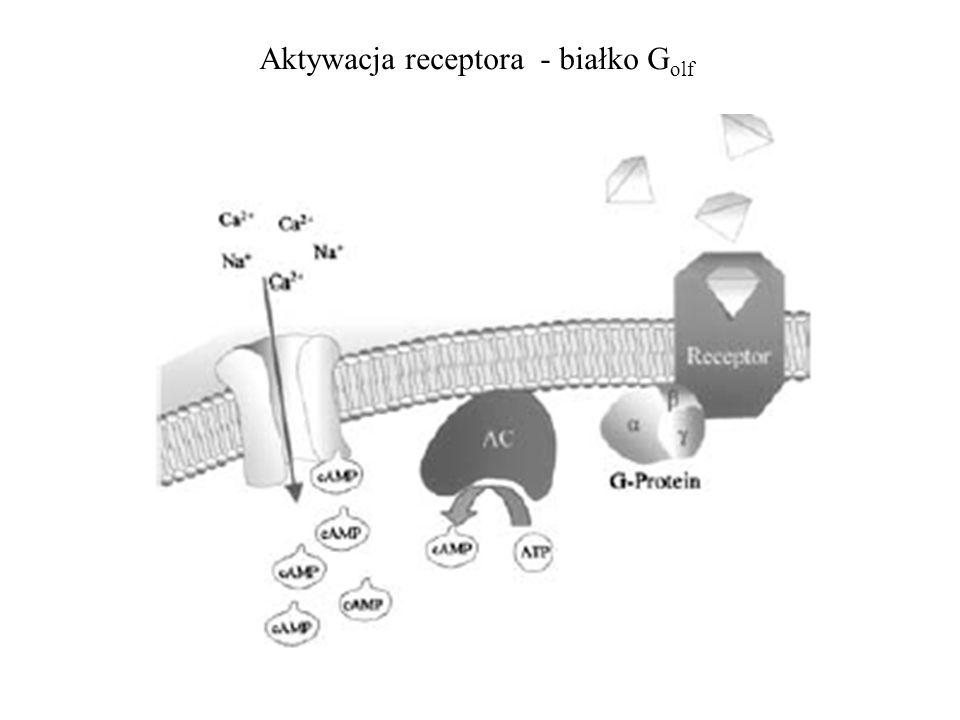 Aktywacja receptora - białko Golf