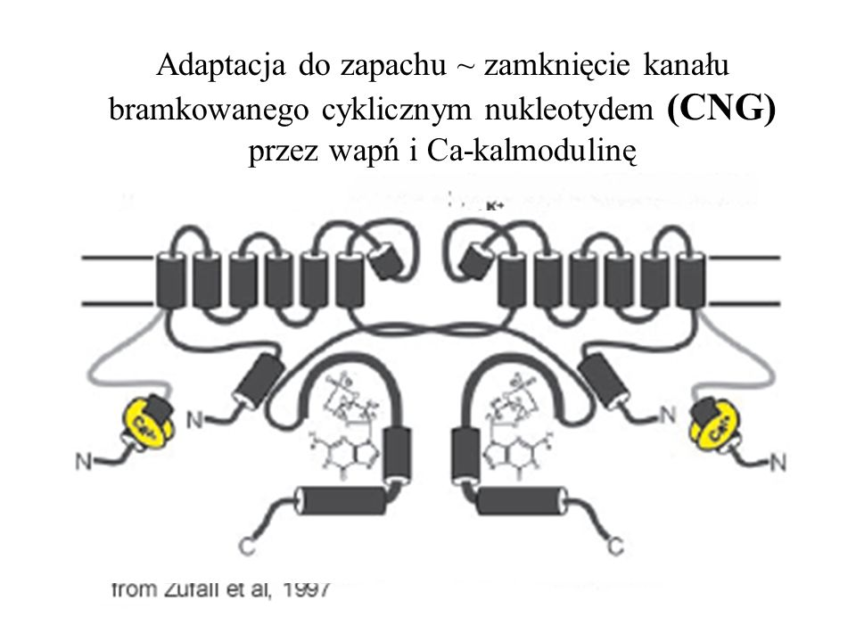 Adaptacja do zapachu ~ zamknięcie kanału bramkowanego cyklicznym nukleotydem (CNG) przez wapń i Ca-kalmodulinę