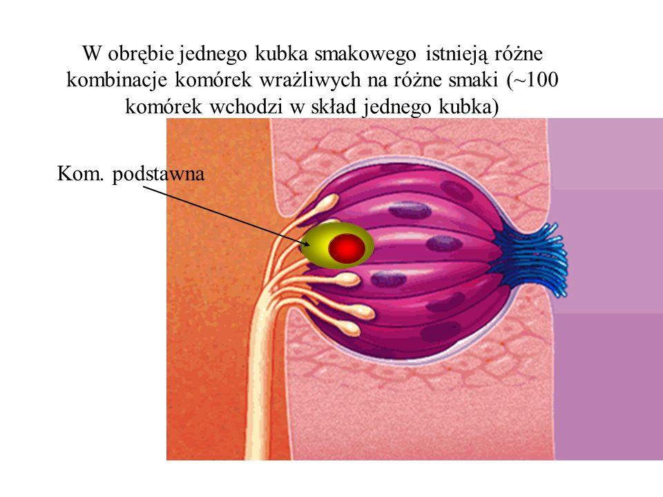 W obrębie jednego kubka smakowego istnieją różne kombinacje komórek wrażliwych na różne smaki (~100 komórek wchodzi w skład jednego kubka)