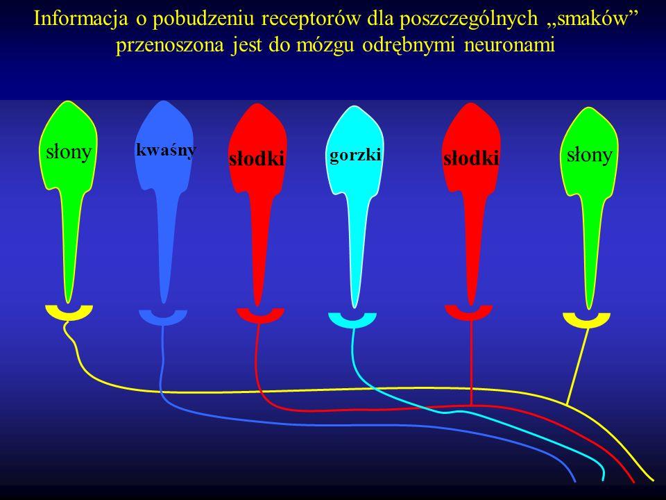 """Informacja o pobudzeniu receptorów dla poszczególnych """"smaków przenoszona jest do mózgu odrębnymi neuronami"""