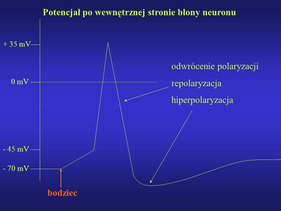 Potencjał po wewnętrznej stronie błony neuronu