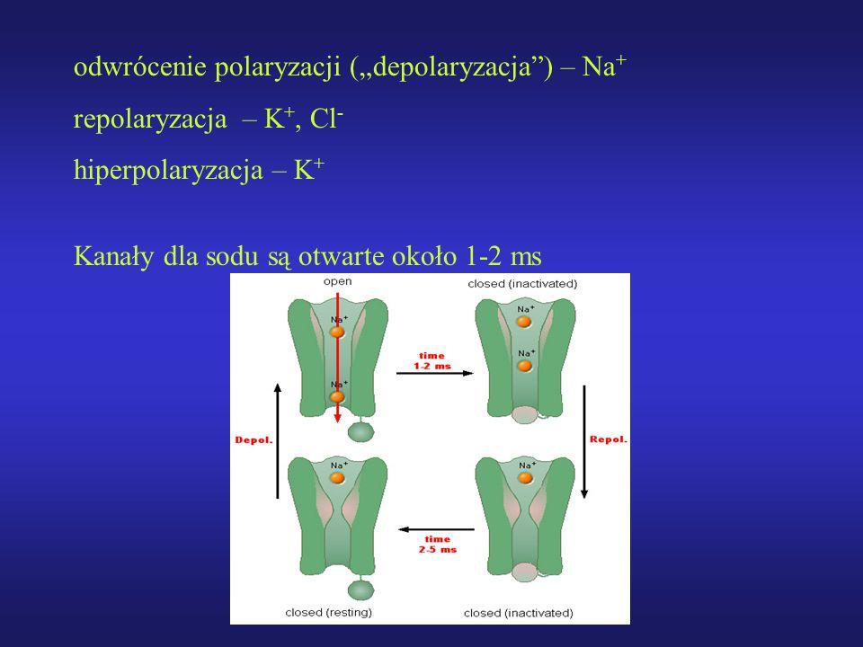 """odwrócenie polaryzacji (""""depolaryzacja ) – Na+"""