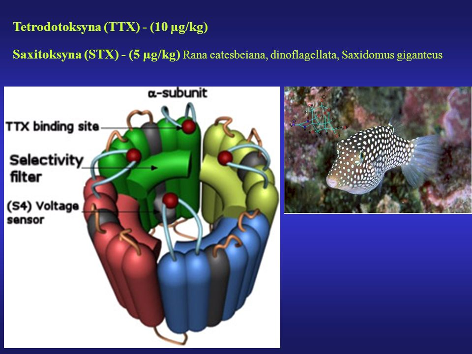 Tetrodotoksyna (TTX) - (10 µg/kg)