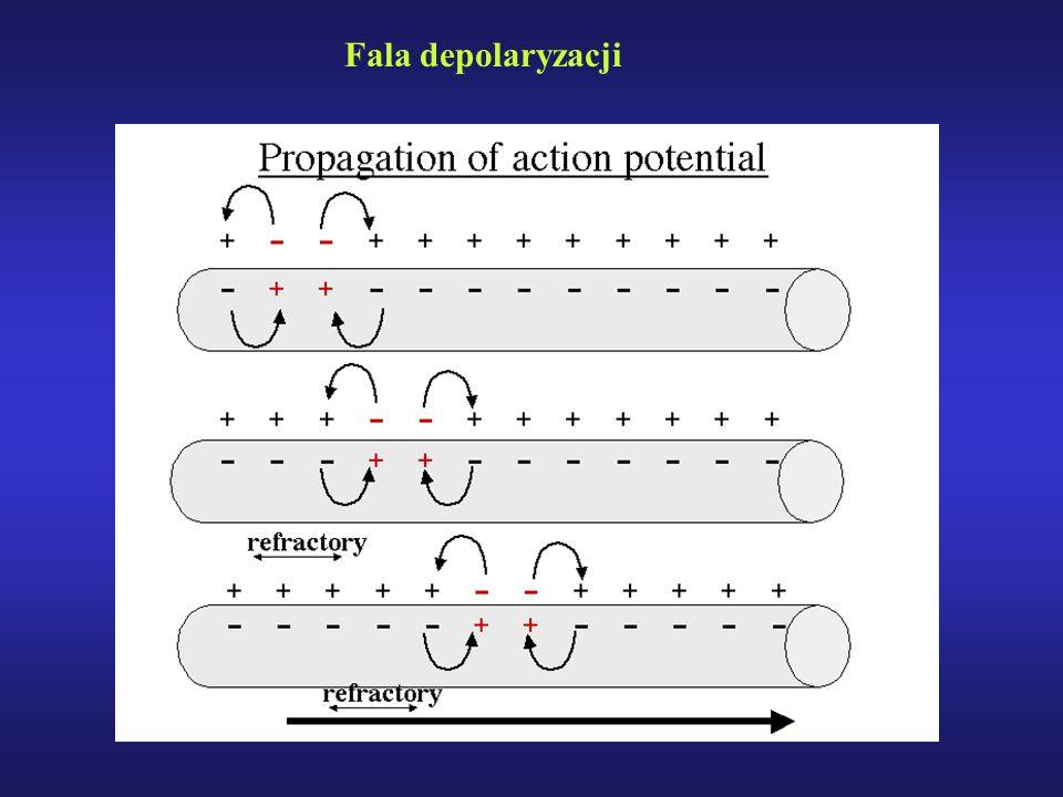 Fala depolaryzacji