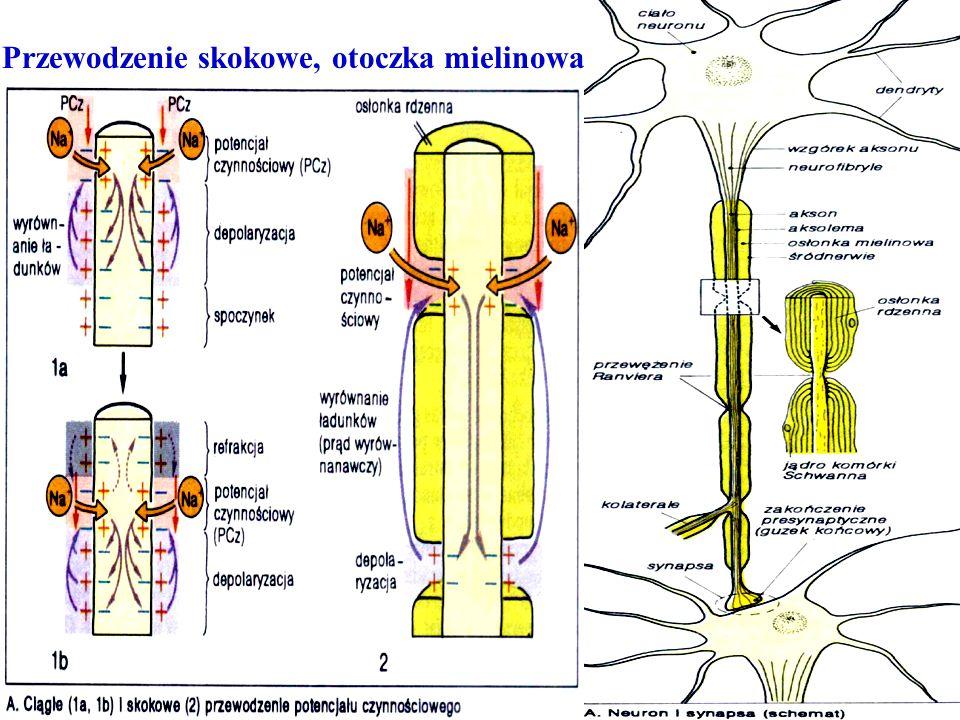 Przewodzenie skokowe, otoczka mielinowa