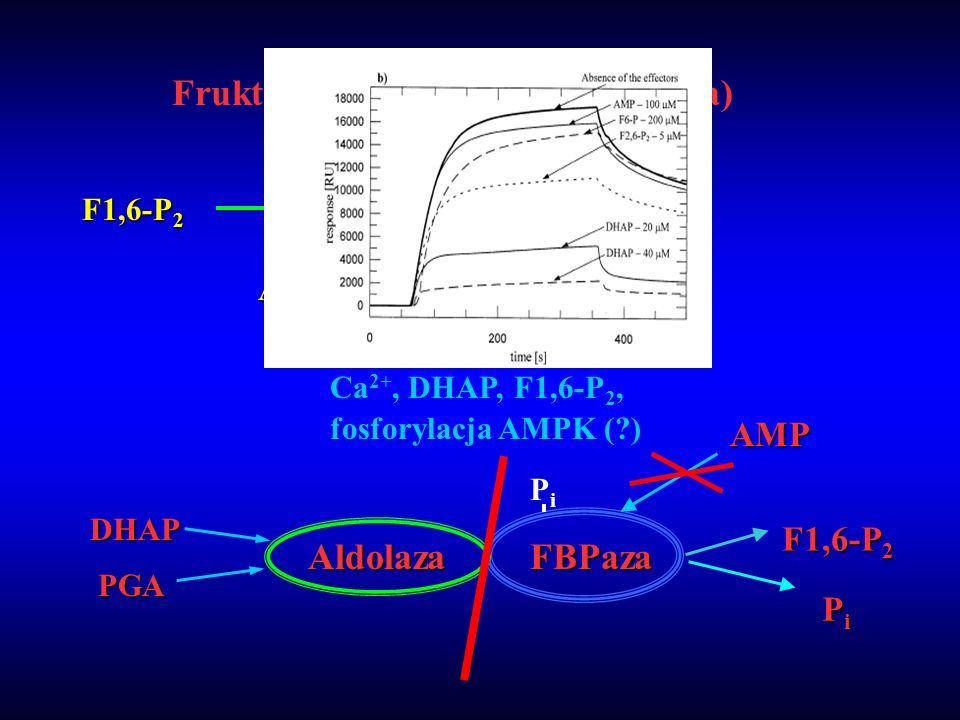 Fruktozo 1,6-bisfosfataza (FBPaza)