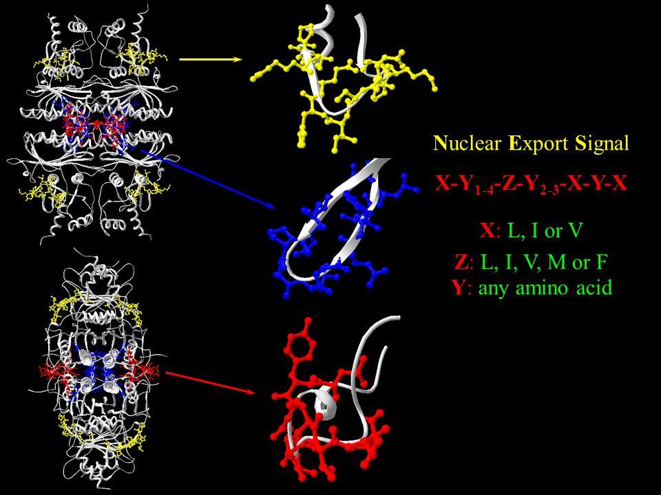 Nuclear Export Signal X-Y1-4-Z-Y2-3-X-Y-X X: L, I or V Z: L, I, V, M or F Y: any amino acid
