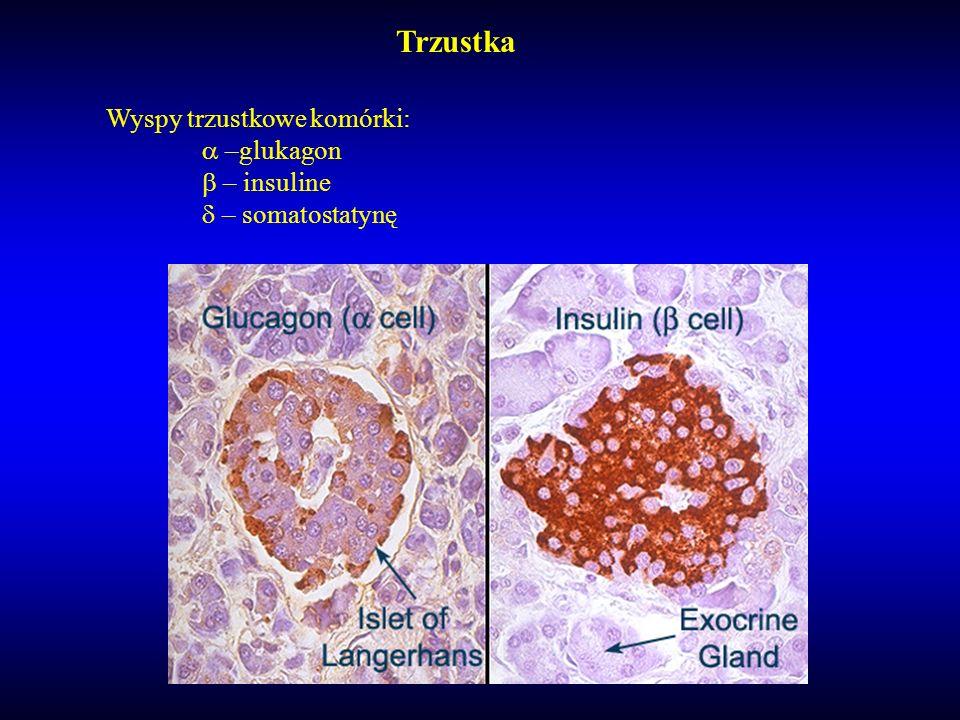 Trzustka Wyspy trzustkowe komórki: a –glukagon b – insuline d – somatostatynę