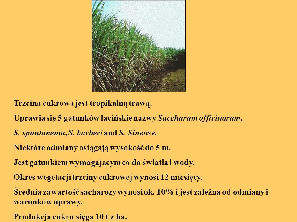 Trzcina cukrowa jest tropikalną trawą.