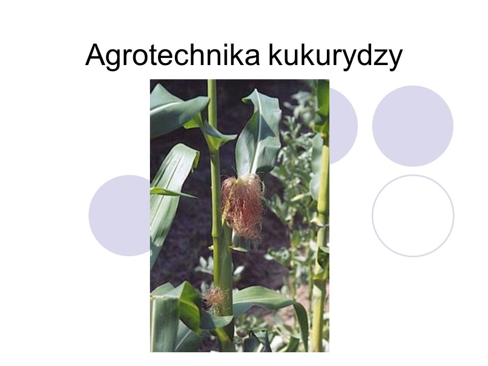 Agrotechnika kukurydzy