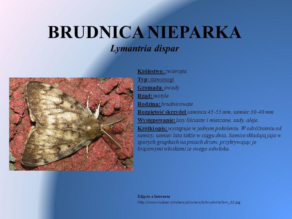 BRUDNICA NIEPARKA Lymantria dispar