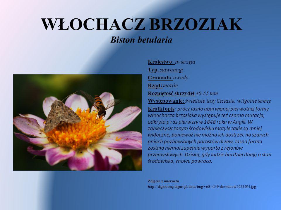 WŁOCHACZ BRZOZIAK Biston betularia