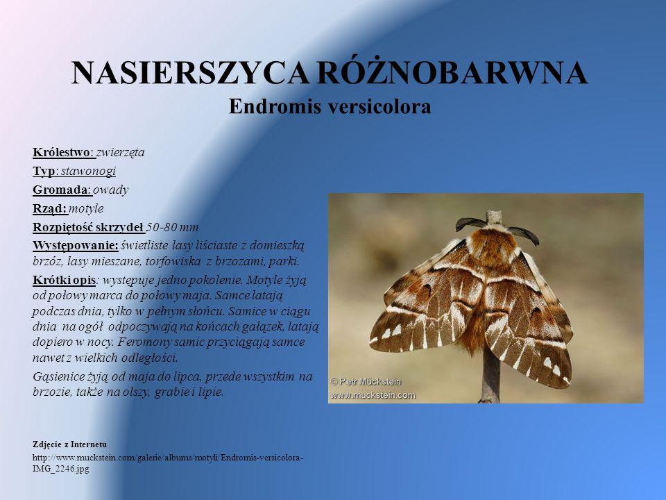 NASIERSZYCA RÓŻNOBARWNA Endromis versicolora