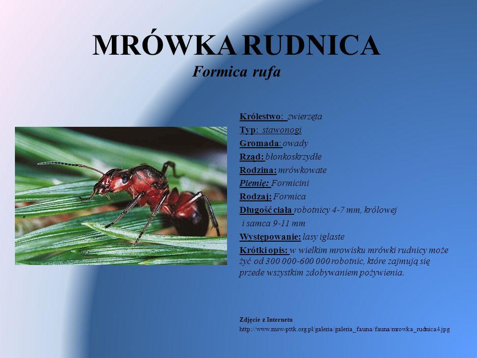 MRÓWKA RUDNICA Formica rufa