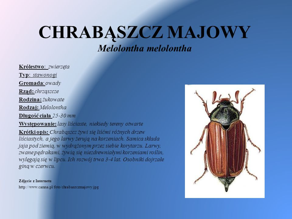 CHRABĄSZCZ MAJOWY Melolontha melolontha