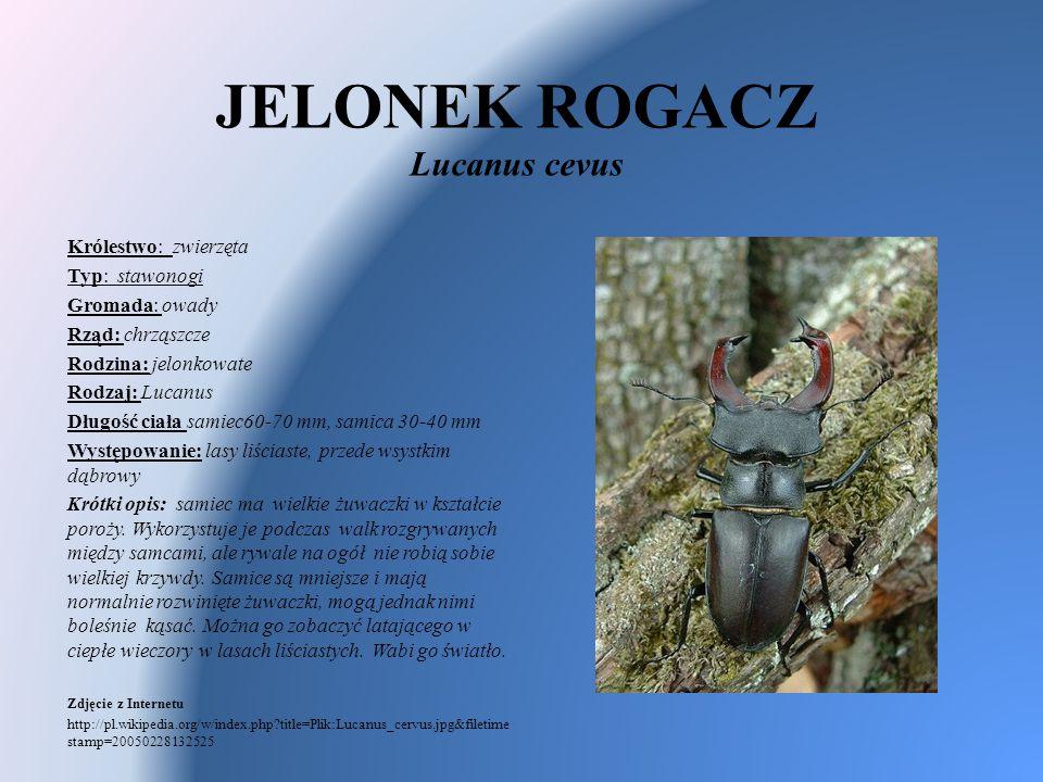 JELONEK ROGACZ Lucanus cevus