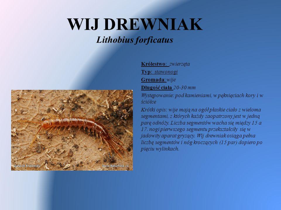 WIJ DREWNIAK Lithobius forficatus