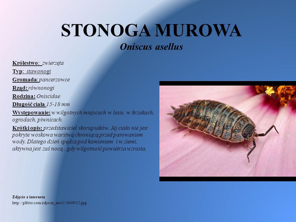 STONOGA MUROWA Oniscus asellus