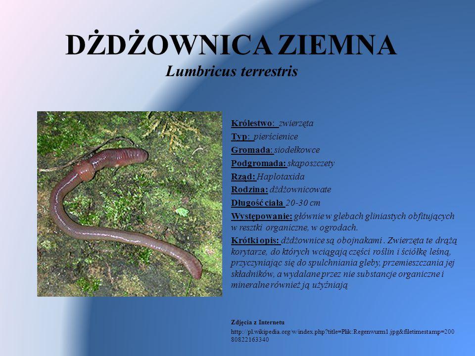 DŻDŻOWNICA ZIEMNA Lumbricus terrestris