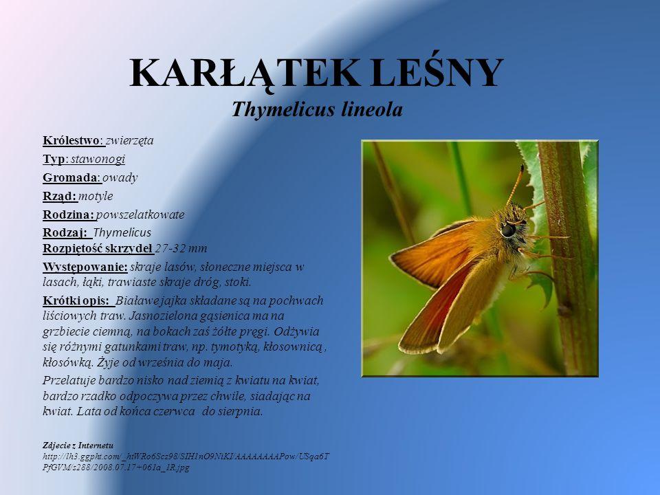 KARŁĄTEK LEŚNY Thymelicus lineola