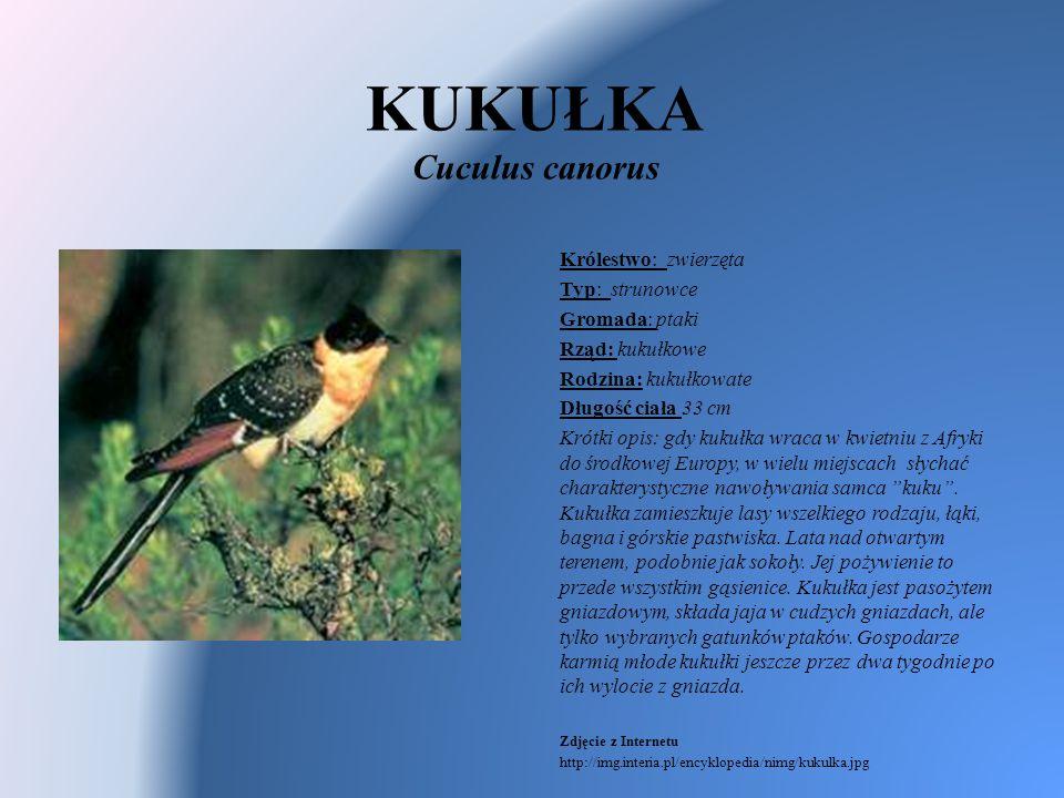 KUKUŁKA Cuculus canorus