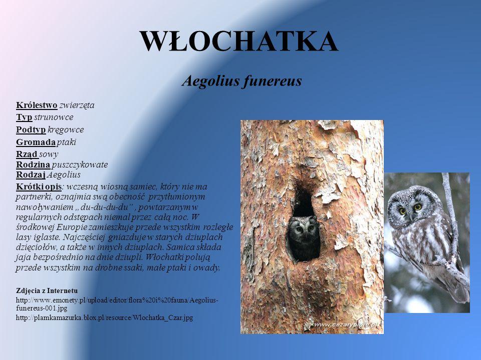 WŁOCHATKA Aegolius funereus