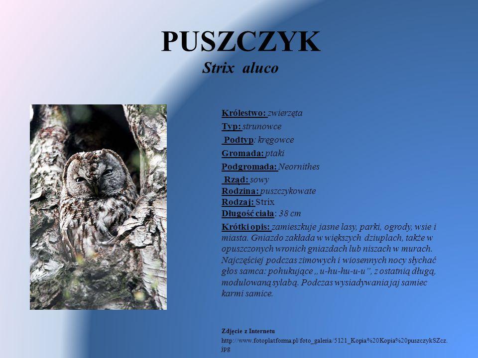 PUSZCZYK Strix aluco Królestwo: zwierzęta Typ: strunowce