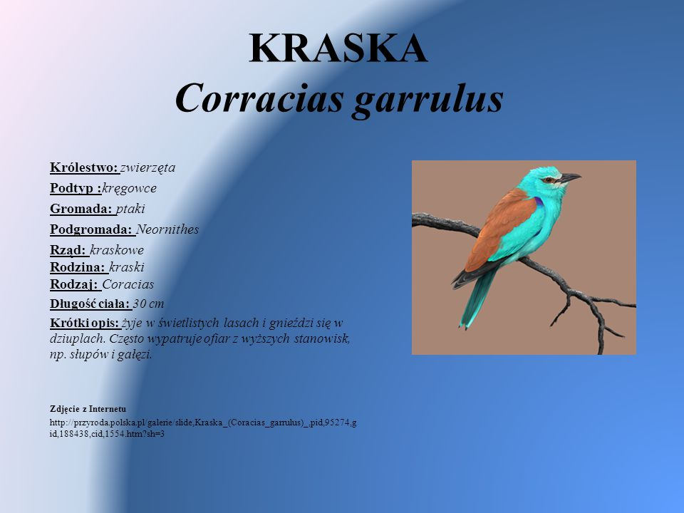 KRASKA Corracias garrulus