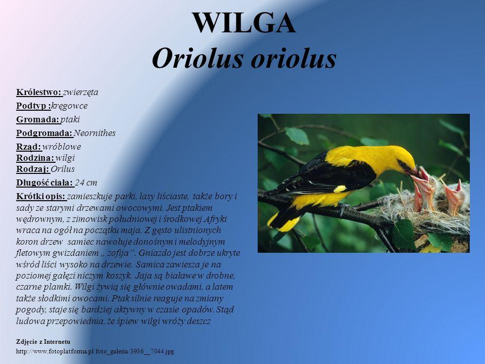 WILGA Oriolus oriolus Królestwo: zwierzęta Podtyp :kręgowce