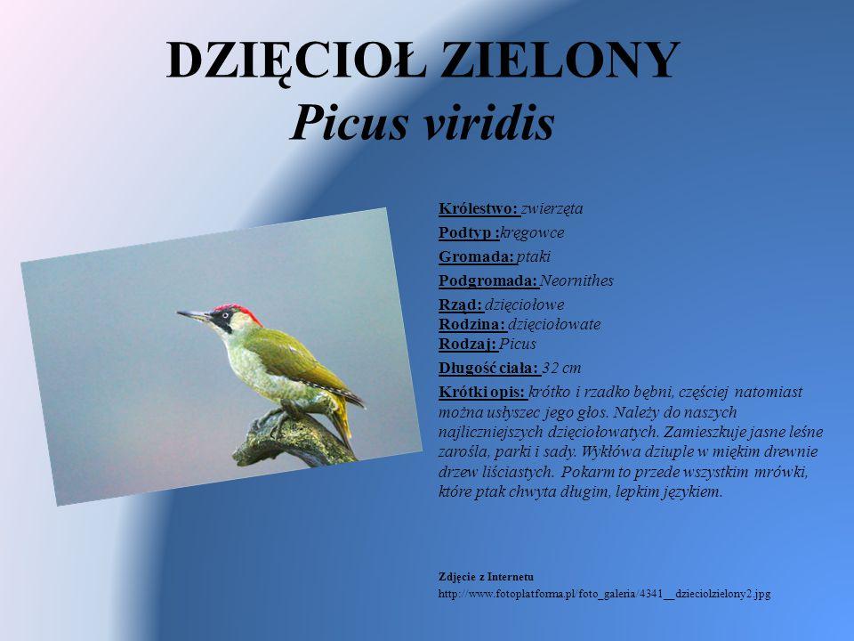 DZIĘCIOŁ ZIELONY Picus viridis